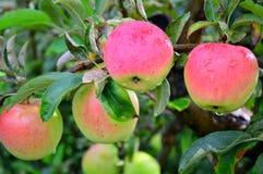 Ρόδινα γυναικεία μήλα με τη σταγόνα βροχής Στοκ φωτογραφίες με δικαίωμα ελεύθερης χρήσης