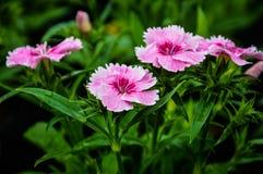 Ρόδινα είδη κοριτσιών λουλουδιών πεταλούδων Deltoides του NA πεταλούδων Στοκ Εικόνες