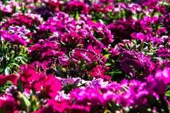 Ρόδινα είδη κοριτσιών λουλουδιών πεταλούδων Deltoides του NA πεταλούδων Στοκ εικόνα με δικαίωμα ελεύθερης χρήσης