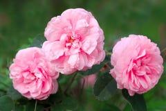 Ρόδινα ευώδη τριαντάφυλλα κήπων στοκ εικόνα