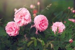 Ρόδινα ευώδη τριαντάφυλλα κήπων στοκ εικόνα με δικαίωμα ελεύθερης χρήσης