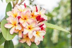 Ρόδινα κίτρινα λουλούδια frangipani plumeria στο δέντρο Στοκ φωτογραφίες με δικαίωμα ελεύθερης χρήσης