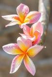 Ρόδινα κίτρινα λουλούδια frangipani plumeria Στοκ Εικόνες