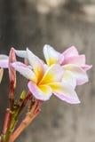 Ρόδινα κίτρινα λουλούδια plumeria (frangipani) Στοκ Εικόνα