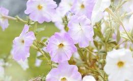 Ρόδινα και άσπρα άνθη πετουνιών στον κήπο κάτω από το φωτεινό θερινό φως του ήλιου floral ρομαντικός ανασκόπησης Στοκ Φωτογραφίες