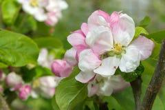 Ρόδινα και άσπρα λουλούδια ανθών μήλων σε έναν κλάδο Στοκ Φωτογραφία