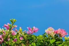 Ρόδινα και άσπρα bougainvilleas άνθισης ενάντια στο μπλε ουρανό στο s στοκ εικόνα με δικαίωμα ελεύθερης χρήσης