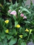 Ρόδινα και κίτρινα lillies Στοκ Εικόνα