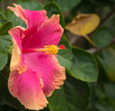 Ρόδινα και πορτοκαλιά της Χαβάης Hibiscus Στοκ φωτογραφία με δικαίωμα ελεύθερης χρήσης
