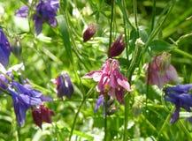 Ρόδινα και πορφυρά μπλε λουλούδια Aquilegia Columbine σε πράσινο Backgr Στοκ Εικόνες