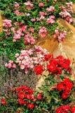 Ρόδινα και σκούρο κόκκινο τριαντάφυλλα Στοκ Εικόνες