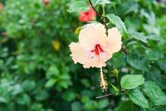 Ρόδινα κινεζικά αυξήθηκε, λουλούδι παπουτσιών ή ένα λουλούδι κόκκινα hibiscus με τα πράσινα φύλλα Στοκ εικόνες με δικαίωμα ελεύθερης χρήσης