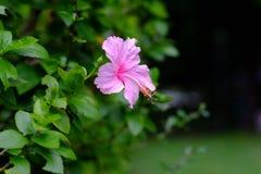 Ρόδινα κινεζικά αυξήθηκε, ρόδινο λουλούδι παπουτσιών στον κήπο Βασίλισσα του tro Στοκ Φωτογραφία
