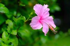 Ρόδινα κινεζικά αυξήθηκε, ρόδινο λουλούδι παπουτσιών στον κήπο Βασίλισσα του tro Στοκ εικόνες με δικαίωμα ελεύθερης χρήσης