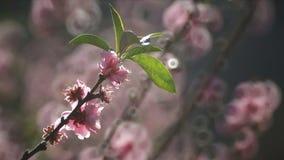 Ρόδινα κινεζικά λουλούδια δαμάσκηνων ή ιαπωνικό βερίκοκο απόθεμα βίντεο