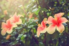 Ρόδινα κινεζικά hibiscus, Hibiscus Rosa Στοκ εικόνες με δικαίωμα ελεύθερης χρήσης