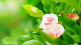 Ρόδινα μικρά λουλούδια milii ευφορβίας Στοκ Φωτογραφίες