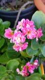 Ρόδινα μικροσκοπικά λουλούδια Στοκ φωτογραφία με δικαίωμα ελεύθερης χρήσης
