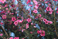 Ρόδινα μικροσκοπικά λουλούδια Στοκ φωτογραφίες με δικαίωμα ελεύθερης χρήσης