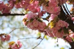Ρόδινα λουλούδια δέντρων κερασιών ιαπωνικά Στοκ εικόνα με δικαίωμα ελεύθερης χρήσης