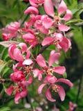 Ρόδινα λουλούδια δέντρων μηλιάς Στοκ Φωτογραφίες