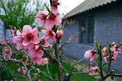Ρόδινα λουλούδια δέντρων ροδακινιών Στοκ Φωτογραφίες