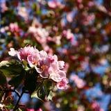 Ρόδινα λουλούδια δέντρων της Apple Στοκ Φωτογραφία