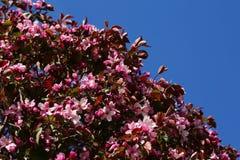Ρόδινα λουλούδια δέντρων της Apple Στοκ φωτογραφίες με δικαίωμα ελεύθερης χρήσης