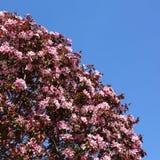 Ρόδινα λουλούδια δέντρων της Apple Στοκ Εικόνα