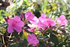 Ρόδινα λουλούδια αζαλεών Στοκ Εικόνα
