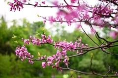 Ρόδινα λουλούδια ακακιών στοκ φωτογραφία με δικαίωμα ελεύθερης χρήσης