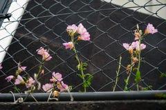 Ρόδινα λουλούδια ακρών του δρόμου χρώματος που αυξάνονται στο φράκτη συνδέσεων αλυσίδων Στοκ φωτογραφία με δικαίωμα ελεύθερης χρήσης