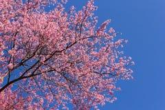 Ρόδινα λουλούδια ανθών sakura Στοκ φωτογραφία με δικαίωμα ελεύθερης χρήσης