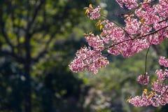 Ρόδινα λουλούδια ανθών sakura Στοκ εικόνα με δικαίωμα ελεύθερης χρήσης