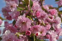 Ρόδινα λουλούδια ανθών sakura Στοκ εικόνες με δικαίωμα ελεύθερης χρήσης