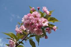 Ρόδινα λουλούδια ανθών sakura Στοκ Εικόνες