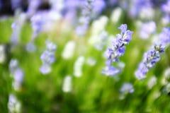 Ρόδινα λουλούδια ανοίξεων και μπλε υπόβαθρο Στοκ φωτογραφίες με δικαίωμα ελεύθερης χρήσης