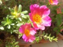 Ρόδινα λουλούδια αυτό το ελατήριο Στοκ Φωτογραφίες