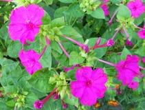 Ρόδινα λουλούδια ενάντια στα πράσινα φύλλα Στοκ εικόνα με δικαίωμα ελεύθερης χρήσης