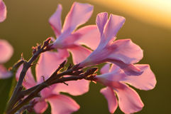 Ρόδινα λουλούδια ενάντια στο ηλιοβασίλεμα Στοκ Εικόνα