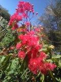 Ρόδινα λουλούδια ευκαλύπτων Στοκ εικόνες με δικαίωμα ελεύθερης χρήσης