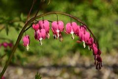 Ρόδινα λουλούδια καρδιών Στοκ εικόνα με δικαίωμα ελεύθερης χρήσης