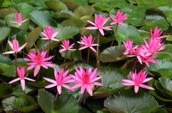 Ρόδινα λουλούδια κρίνων νερού Στοκ Εικόνες