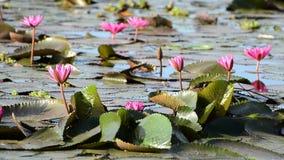 Ρόδινα λουλούδια κρίνων νερού απόθεμα βίντεο