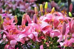 Ρόδινα λουλούδια κρίνων στην κινηματογράφηση σε πρώτο πλάνο σε Palmen Garten, Φρανκφούρτη Αμ Μάιν Στοκ Εικόνες