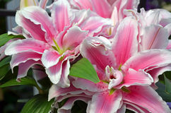 Ρόδινα λουλούδια κρίνων stargazer Στοκ Εικόνες
