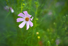 Ρόδινα λουλούδια κόσμου που ανθίζουν στον κήπο το καλοκαίρι Στοκ φωτογραφία με δικαίωμα ελεύθερης χρήσης