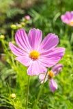 Ρόδινα λουλούδια κόσμου Στοκ εικόνες με δικαίωμα ελεύθερης χρήσης