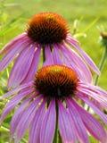 Ρόδινα λουλούδια κώνων Echinacea που προσελκύουν τις μύγες Στοκ Εικόνα