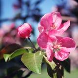 Ρόδινα λουλούδια μήλων στην άνθιση Άνοιξη ηλικίας φωτογραφία Στοκ Φωτογραφίες